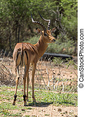 Impala at the Mokolodi Nature Reserve in Botswana