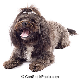 Havanese dog standing with mouth open on a white background