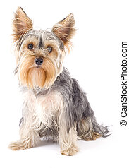 Yorkshire Terrier (2 years) in front of a white background
