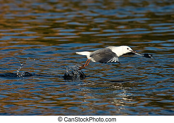 Hartlaubs Gull during take off at Intaka island Cape Town