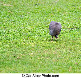 Guineafowl - chicken