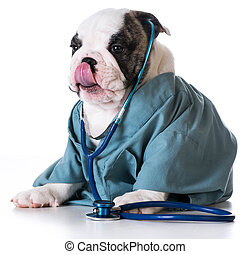 veterinary care - bulldog dressed up like a vet on white...