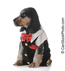 cute puppy - english cocker spaniel puppy wearing tuxedo on...