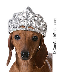 spoiled dog - miniature dachshund wearing tiara on white...
