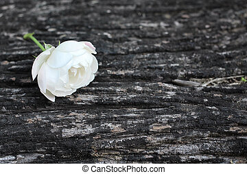 White rose on wood
