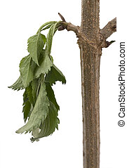 Branch with thirsty leaves - A single branch with a bunch of...