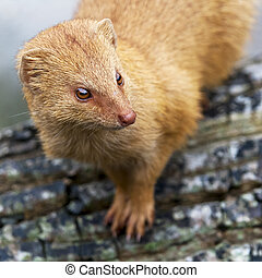Mongoose - A closeup of the head of a mongoose