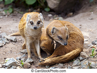 Mongoose - A mongoose family