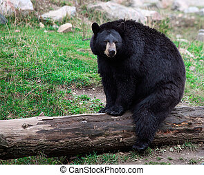 American Black Bear Sitting on a Tree Trunk - An american...