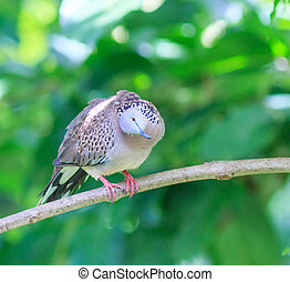 Bird Spotted dove in Thailand