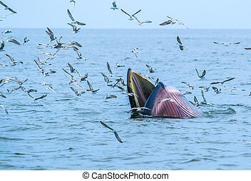 whales eating fish (Balaenoptera brydei) in Gulf of Thailand...