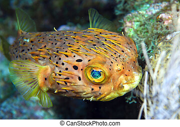 Normal shape blow fish - A shy porcupine fish is trying to...