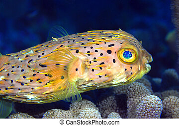Normal Shape Porcupine fish - A blow fish non stressed is...