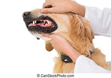 Veterinario, Examinar, dientes, de, Un, lindo, perro,