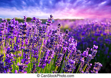 Lavender field in Tihany, Hungary - Lavender field in Summer...