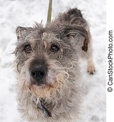 Dirty gray shaggy dog standing on snow - Dirty gray shaggy...