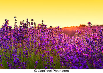 Lavender field in Tihany, Hungary - Lavender field in Summer...