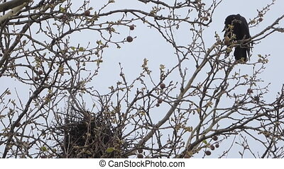 Crow in nests on tree