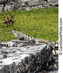 Iguana on ruins in Tulum, Mexico
