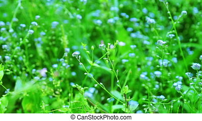 Beautiful blue forget-me-not flowers at field - Close up...