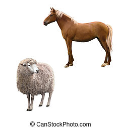 Mixed breed horse standing, Front view of a Sheep looking...