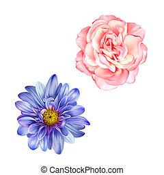 kék, rózsaszínű, virág, mona, rózsa, virág, elszigetelt,...