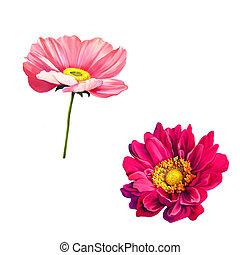 rózsaszínű, virág, mona, elszigetelt, háttér, mák, tender,...