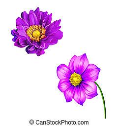 rózsaszínű, virág, virág, mona, bíbor, eredet, Ábra, virág,...
