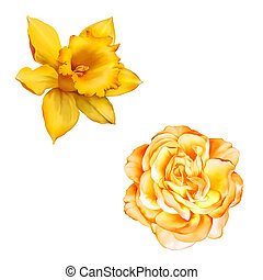 Yellow Rose Flower isolated on white background, Daffodil...