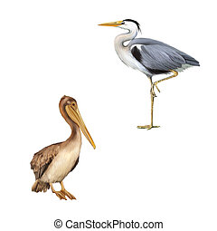 pelican standing proud on a white background Grey Heron...