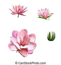 rózsaszínű, virág, virág, virág, lótusz, eredet, magnólia,...