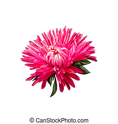 Aster Pink flower, Spring flower Isolated on white...