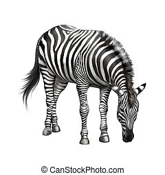 zebra bent down eating grass isolated on white background