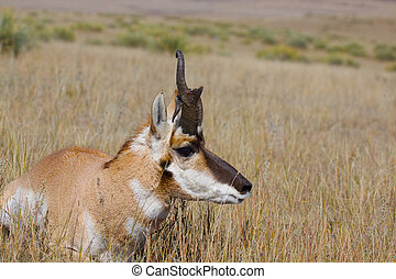 Bedded Freaky Pronghorn - a pronghorn buck with a freaky...