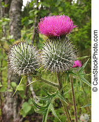 A thistle flowering