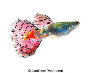 guppy, peixe, pretas, isolado, fundo