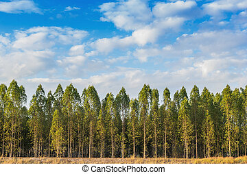 Eucalyptus tree forest in Thailand, plants for paper...