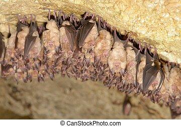 Group of Lesser horseshoe bat (Rhinolophus hipposideros) -...