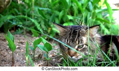 Maine Coon black tabby cat with green eyelying down and...
