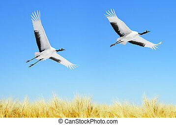 Japanese Cranes - Two Japanese Cranes in flight against blue...