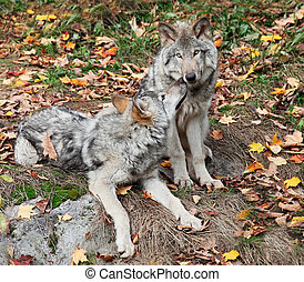 Two Gray Wolves Relaxing - On a fall day two young gray...