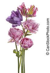 tulip - Studio Shot of Multicolored Tulip Flowers Isolated...