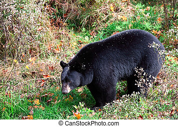An american black bear is walking through shrubs and grass...