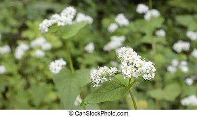 Close up buck wheat flowers - Close up white buck wheat...