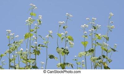 Buck wheat flowers - White buck wheat flowers under blue sky