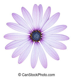 blue osteospermum daisy flower isolated on white with...