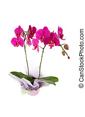 Orchid - Pink Moth Orchid with white background