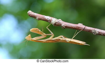 mantis is sitting on branch of tree - macro shot