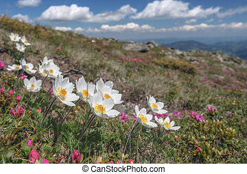 rhododendron - beauty white flowers in high mountains