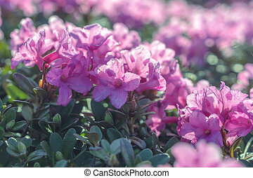 rhododendron - beauty rhododendron in high mountains